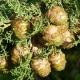Ciprus illóolaj, bio, 100%-os tisztaságú