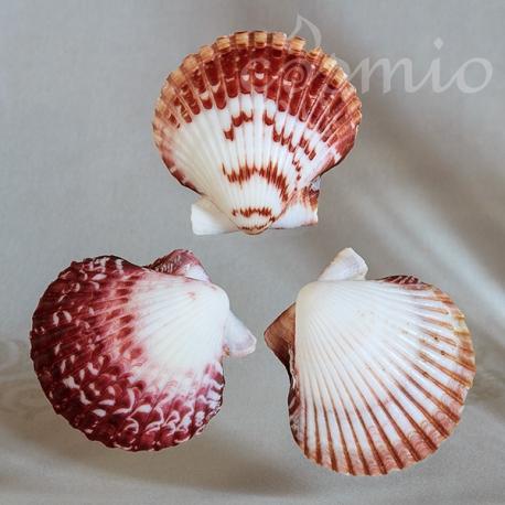 Kagylóhéj, világos, cirmos