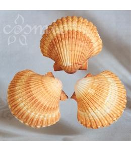 Kagylóhéj, homokszínű