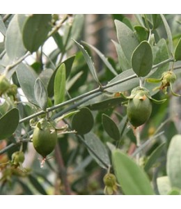 Jojoba termések